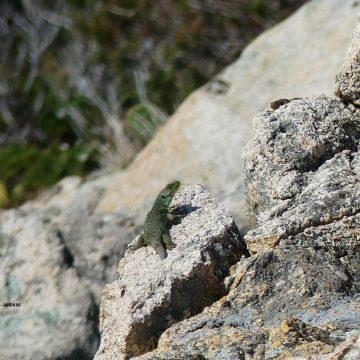 Le Lézard ocellé avec le Parc National de Port-Cros dans les secteurs Cap Lardier et Cap Taillat (83)