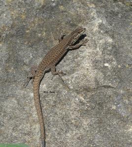 P.liolepis mornas