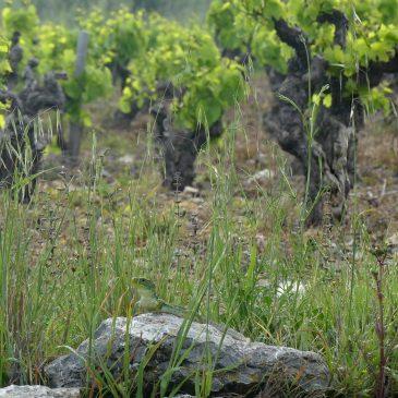 Une première ! Un groupe de vignerons qui souhaite préserver le Lézard ocellé !