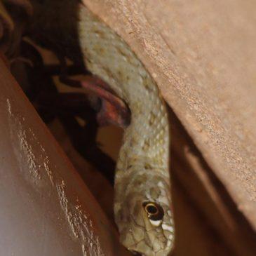SOS un serpent ou un lézard dans mon jardin en PACA