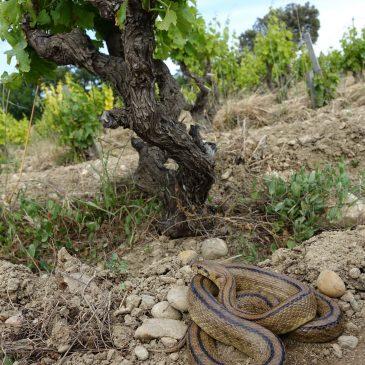 Un clin d'œil au domaine de Courten                                   Une culture entièrement biologique à Châteauneuf-du-Pape