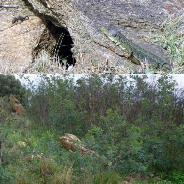Lutte contre le Mimosa (Acacia dealbata) sur la commune du Lavandou (Var) en faveur du Lézard ocellé