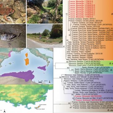 Etude génétique de deux espèces de Discoglosses introduits en France