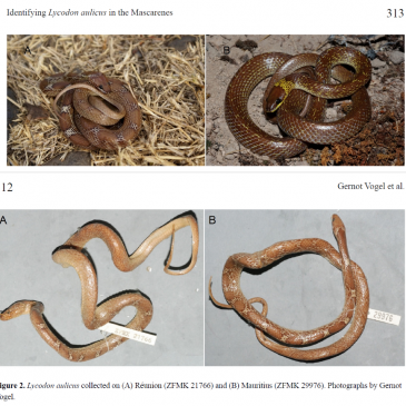 Checking back two centuries: a key criterion to identify the wolfsnake, Lycodon aulicus (Linnaeus, 1758), in the Mascarene Islands