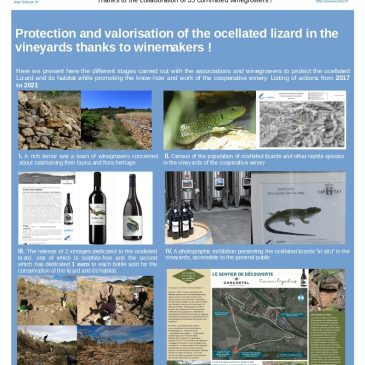 Protection and valorisation of the ocellated lizard in the vineyards thanks to winemakers !
