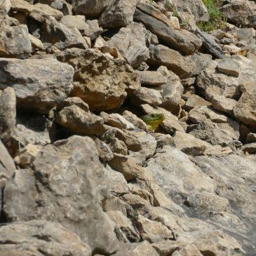 Présence du Lézard ocellé  sur 3 communes du nord du Vaucluse: Piolenc, Uchaux et Mornas